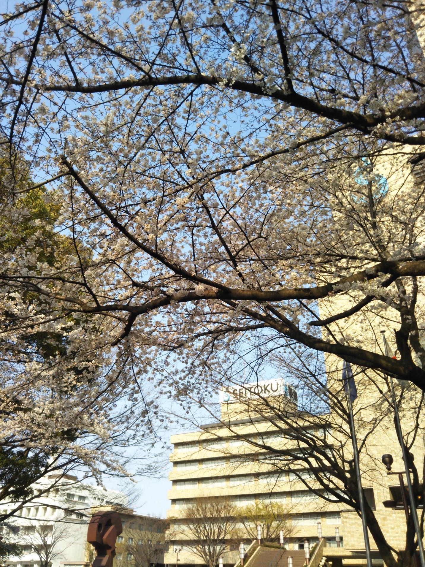 正門の桜.入学式のときには満開でしょうか.